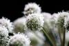 Karhunputken kukkaa